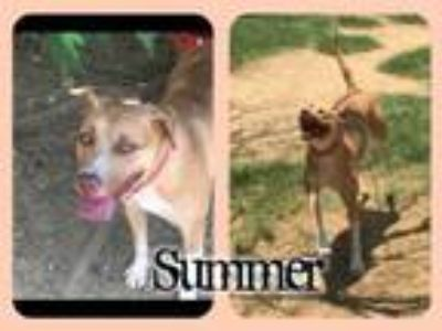 Adopt Summer a Mixed Breed, Pit Bull Terrier