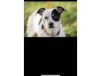 Adopt Storm a White - with Black Jack Russell Terrier / Mixed dog in Columbia