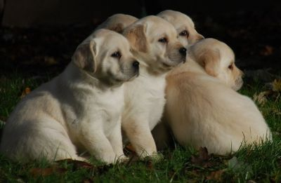 Labrador Retriever PUPPY FOR SALE ADN-95521 - AKC Labrador Puppies
