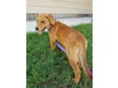 Adopt Marley Rae a Tan/Yellow/Fawn - with White Golden Retriever / Labrador