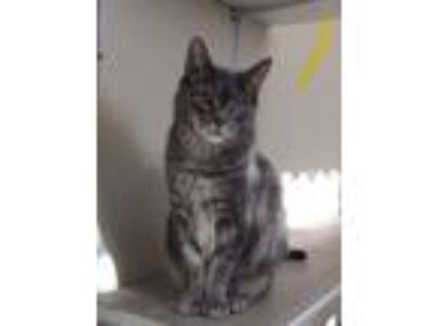 Adopt Kayla a Domestic Short Hair