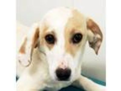 Adopt Saloma a Collie