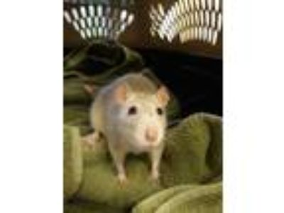 Adopt Chai a Buff Rat / Rat / Mixed (short coat) small animal in Bend