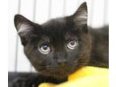 Adopt Jonny a All Black Domestic Shorthair / Domestic Shorthair / Mixed cat in