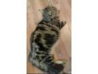 Adopt Camille a Spotted Tabby/Leopard Spotted Maine Coon (long coat) cat in