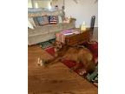 Adopt ollie a White - with Gray or Silver Golden Retriever / Irish Setter dog in