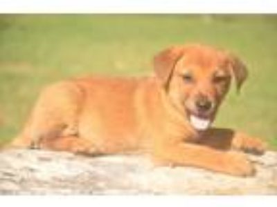 Adopt sampson a Red/Golden/Orange/Chestnut Labrador Retriever / Golden Retriever