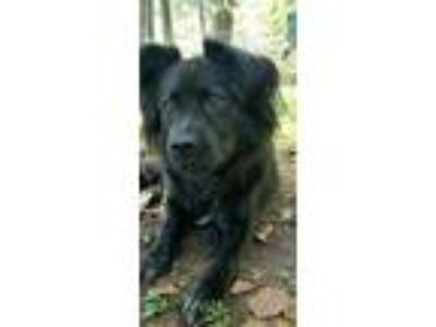 Adopt Chaucer a Black - with White Border Collie / Mixed dog in Capon Bridge