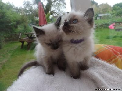 seal point Boy and girl Ragdoll kittens