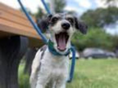 Adopt Lola a Poodle, Mixed Breed