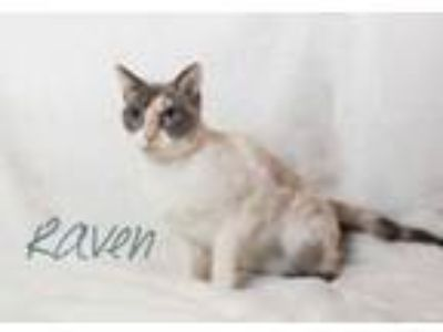 Adopt Raven 2 a Domestic Short Hair, Siamese