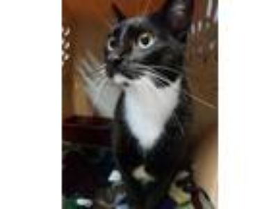 Adopt Arya a All Black Domestic Shorthair / Domestic Shorthair / Mixed cat in