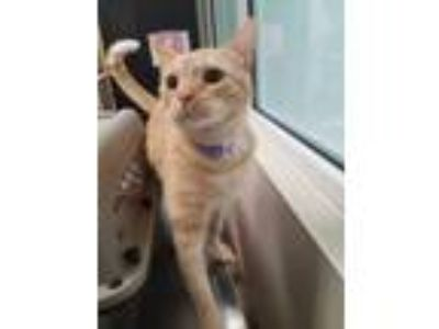 Adopt Apollo a Orange or Red American Shorthair / Domestic Shorthair / Mixed cat