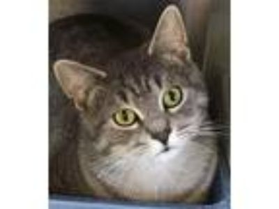 Adopt Agent Cheshire a Domestic Shorthair / Mixed (short coat) cat in Vineland