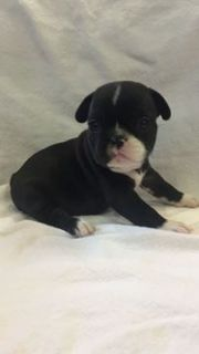 French Bulldog PUPPY FOR SALE ADN-92960 - Female French Bulldog