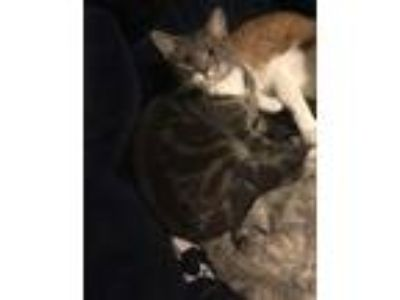 Adopt Cole a Gray or Blue (Mostly) American Shorthair cat in Palatka