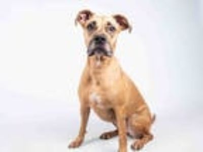 Adopt LADY BIRD a Tan/Yellow/Fawn - with Black Boxer / Great Dane / Mixed dog in