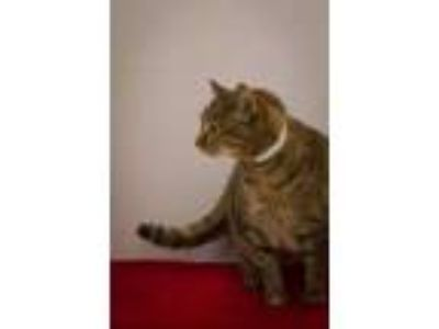 Adopt Ms. Kitty a Brown or Chocolate Domestic Shorthair / Mixed cat in