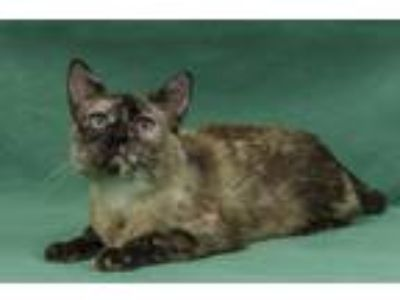 Adopt Moxxie a Tan or Fawn (Mostly) Siamese / Mixed (short coat) cat in Davis