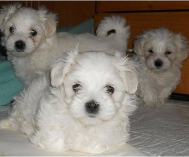 Maltipoo PUPPY FOR SALE ADN-130202 - Female Maltipoo Puppy