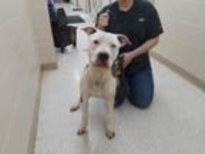 Adopt T-Bone a White - with Brown or Chocolate American Staffordshire Terrier /