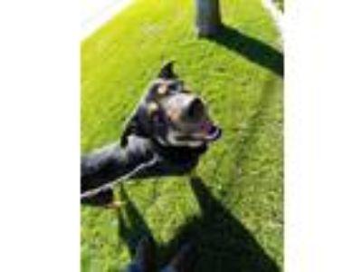 Adopt Bruno a Rottweiler, Shepherd