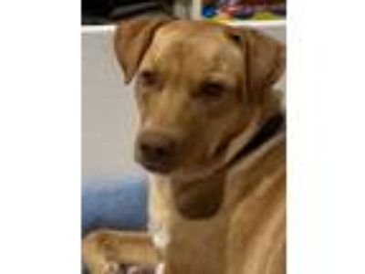 Adopt Athena a Tan/Yellow/Fawn - with White Labrador Retriever / Shepherd