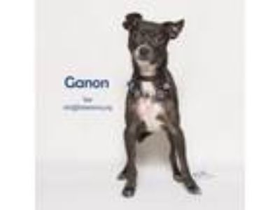 Adopt Ganon a Gray/Silver/Salt & Pepper - with White Italian Greyhound / Mixed
