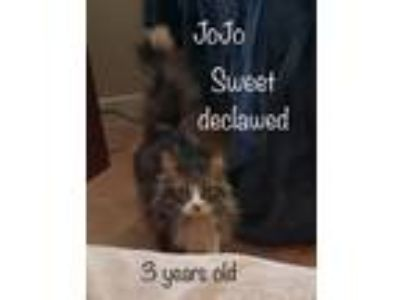 Adopt JoJo a Maine Coon