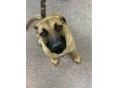 Adopt Ziggy a Tan/Yellow/Fawn German Shepherd Dog / Mastiff / Mixed dog in