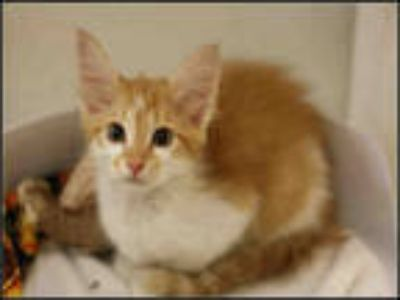 Adopt TIGGER a Orange or Red Tabby Domestic Mediumhair / Mixed (medium coat) cat