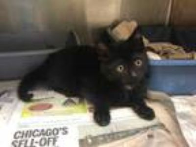 Adopt Cornell a All Black Domestic Shorthair / Domestic Shorthair / Mixed cat in