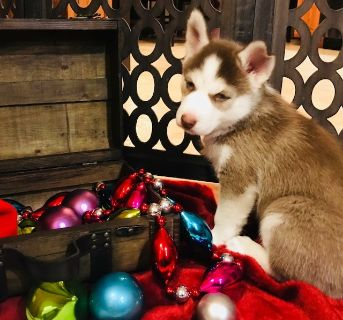 Siberian Husky PUPPY FOR SALE ADN-104799 - Siberian Husky