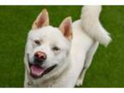 Adopt ASAP Barky a Tan/Yellow/Fawn Akita / Mixed dog in Cleveland, OH (25119442)
