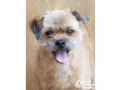 Adopt Colin a Tan/Yellow/Fawn Shih Tzu / Mixed dog in Lihue, HI (25540007)
