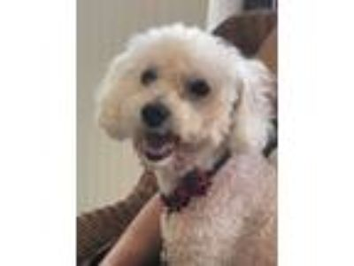 Adopt Belle a White Poodle (Miniature) / Bichon Frise / Mixed dog in Tampa