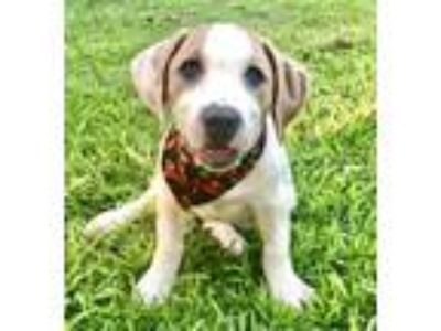 Adopt Rose a Beagle, American Staffordshire Terrier
