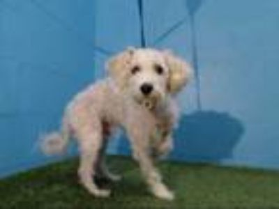 Adopt TOBY a White Schnauzer (Miniature) / Poodle (Miniature) / Mixed dog in