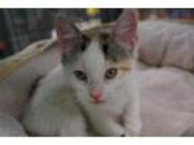 Adopt COWGIRL a Calico or Dilute Calico Domestic Shorthair / Mixed (short coat)