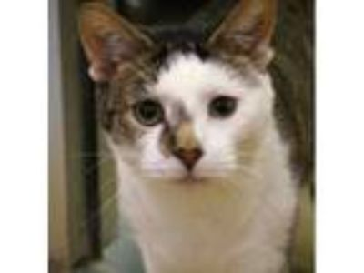 Adopt Asher -- GENTLE SOUL a Brown Tabby Domestic Shorthair / Mixed (short coat)