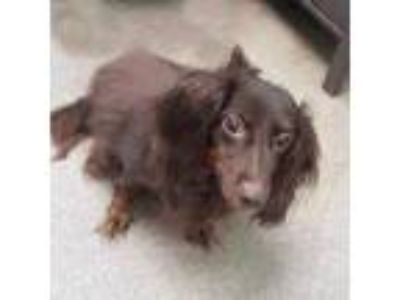 Adopt Chloe a Brown/Chocolate Dachshund / Mixed dog in Washington, DC (25644161)