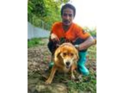 Adopt Savannah- MEAT TRADE SURVIVOR a Golden Retriever
