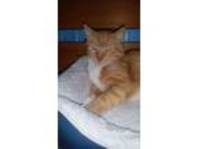 Adopt Kwazii a Domestic Short Hair
