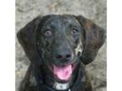 Adopt Aria a Black Hound (Unknown Type) dog in Gainesville, FL (25318940)