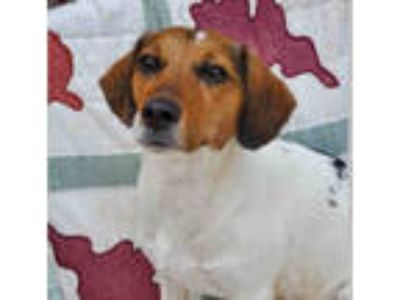 Adopt *PENELOPE a Tricolor (Tan/Brown & Black & White) Beagle / Mixed dog in