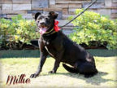 Adopt MILLIE a Black - with White Labrador Retriever / American Pit Bull Terrier