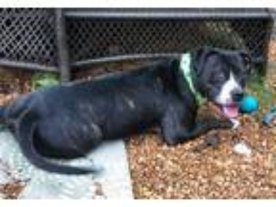 Adopt Sera Clover a Black Mixed Breed (Large) / Mixed dog in Chamblee