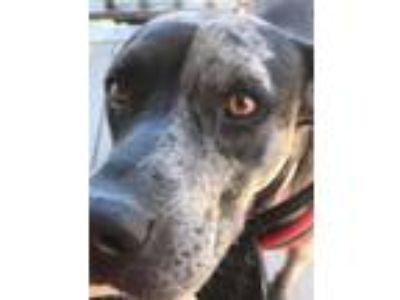 Adopt Matty a Merle American Staffordshire Terrier / Shar Pei dog in Cedar Park
