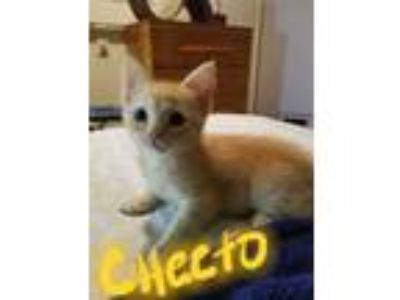 Adopt CHEETO a Orange or Red Tabby Domestic Shorthair (short coat) cat in Los