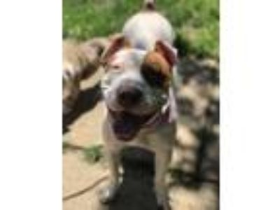 Adopt Zara a American Staffordshire Terrier, Pit Bull Terrier